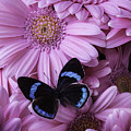 Pink Gerbera Daises And Butterfly by Garry Gay