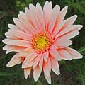 Pink Gerbera Daisy by Marian Bell