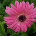Pink Gerbera Daisy  by Marjorie Imbeau