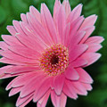 Pink Gerbera Delight by Suzanne Gaff