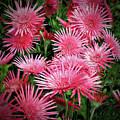 Pink Gerbera Heaven by Douglas Barnard