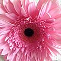 Pink Gerbera by Roleen Senic