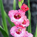 Pink Gladiolus by Charles Hite