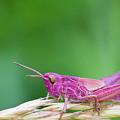 Pink Grasshopper by Chris Smith