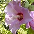 Pink Hawaiian Flowers by Manuel Sanchez