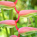 Pink Heliconia Flower by Charmian Vistaunet