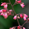Pink Heuchera Flower 1 by Kristina Jones