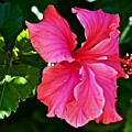 Pink Hibiscus At Pilgrim Place In Claremont-california- by Ruth Hager