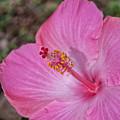 Pink Hibiscus by Brian Harig