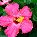 Pink Hibiscus by Brittany Horton