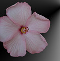 Pink Hibiscus by Donna Brown