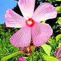 Pink Hibiscus by Ed Weidman