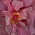 Pink Hibiscus by Elisabeth Lucas