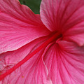 Pink Hibiscus by Kathy Schumann