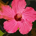 Pink Hibiscus by Kimberly Camacho