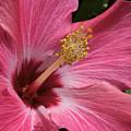 Pink Hibiscus by Phyllis Denton