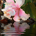 Pink Hibiscus Reflection by Elaine Teague