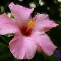 Pink Hibiscus by Smilin Eyes  Treasures