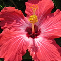 Pink Hibiscus by Stephanie  Bland