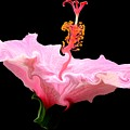 Pink Hibiscus With Curlicue Effect by Rose Santuci-Sofranko