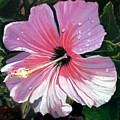 Pink Hibiscus With Raindrops by Marionette Taboniar