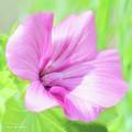 Pink Hollyhock Flower by A Gurmankin