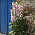 Pink Hollyhocks Growing From A Crack In The Pavement by Louise Heusinkveld