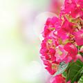 Pink Hortensia Flowers In Graden by Anastasy Yarmolovich