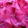Pink Hydrangea After Rain by Valerie Ornstein