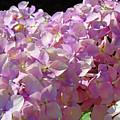 Pink Hydrangea Flower Floral Art Prints Baslee Troutman by Baslee Troutman