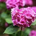 Pink Hydrangea by Lori Rider