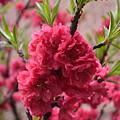 Pink In Bloom by Des Brownlie