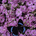 Pink Kalanchoe And Black Butterfly by Garry Gay