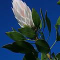 Pink King Protea Kula Maui Hawaii by Sharon Mau
