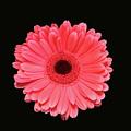 Pink  by Krisjan Krafchak