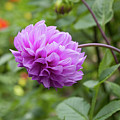 Pink Lavender Dahlia by Diane Macdonald