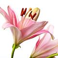 Pink Lilies 03 by Nailia Schwarz