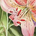 Pink Lily Close Up by Irina Sztukowski