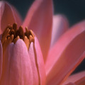 Pink Lily Close-up by Karen Garvin