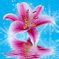 Pink Lily by Keri Harrish