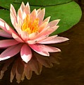 Pink Lily Reflection 4 by Lisa Renee Ludlum