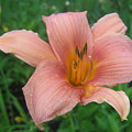 Pink Lily by Tracey Munson