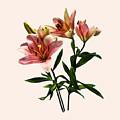 Pink Lily Trio by Susan Savad