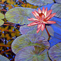 Pink Lily With Silver Pads by John Lautermilch