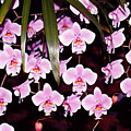 Pink Little Orchids by Susanne Van Hulst