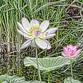 Pink Lotus  by Jeelan Clark