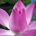Pink Lotus by Larry Dale Gordon - Printscapes