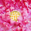Pink Lotus by Ray Laskowitz - Printscapes