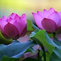 Pink Lotus by Sabrina L Ryan