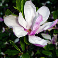 Pink Magnolia Blossom by Greg Reed
